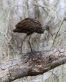 Limpkin Bird - PhotoDune Item for Sale