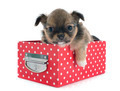puppy chihuahua - PhotoDune Item for Sale