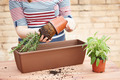 Hands transplanting rosemary to pot - PhotoDune Item for Sale