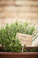 Thyme plant on urban garden - PhotoDune Item for Sale