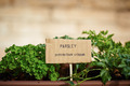 Parsley plant on urban garden - PhotoDune Item for Sale