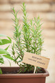 Rosemary plant on urban garden - PhotoDune Item for Sale
