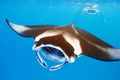 Manta ray floating underwater - PhotoDune Item for Sale