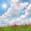 field with poppies and sun on blue sky - PhotoDune Item for Sale