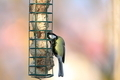 great tit grabbing lard from feeder - PhotoDune Item for Sale