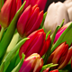 Bouquet of Bright Tulips Blooms 03 - VideoHive Item for Sale
