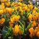 Flowers in Keukenhof park, Netherlands, also known as the Garden - PhotoDune Item for Sale