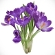Crocuses - GraphicRiver Item for Sale