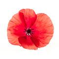 Red poppy flower - PhotoDune Item for Sale