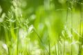 June green grass flowering - PhotoDune Item for Sale
