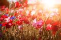 Poppies in sunshine - PhotoDune Item for Sale