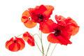 Poppy flowers on white - PhotoDune Item for Sale