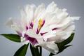 One peony flower - PhotoDune Item for Sale