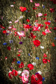 Poppies in a garden - PhotoDune Item for Sale
