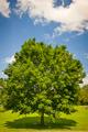 Maple tree in summer field - PhotoDune Item for Sale