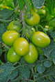 Green shiny tomatoes - PhotoDune Item for Sale