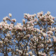 Magnolia soulangeana - PhotoDune Item for Sale