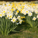 Narcissus - PhotoDune Item for Sale