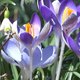 Snowdrops & Crocuses - Spring Flowers - 128 - VideoHive Item for Sale