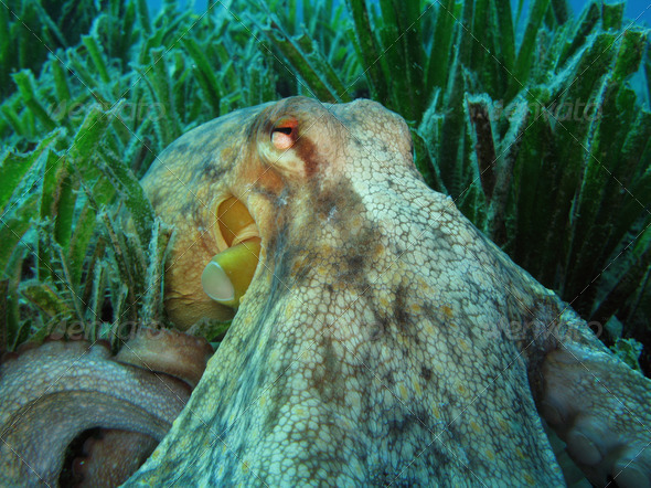 Octopus on Posidonia Oceanica - Stock Photo - Images
