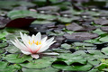 Water lily in lake. - PhotoDune Item for Sale