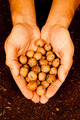 Mans hands full of walnuts - PhotoDune Item for Sale