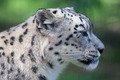 Snow Leopard - PhotoDune Item for Sale