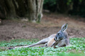 Single Kangaroo Laying - PhotoDune Item for Sale