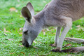 Single Kangaroo Grazing in the wild - PhotoDune Item for Sale