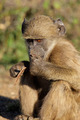 Chacma baboon - PhotoDune Item for Sale