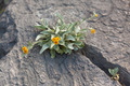 Yellow Wild Flowers Growing in a rock crack - PhotoDune Item for Sale