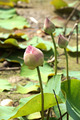 beautiful pink lotus flower in blooming - PhotoDune Item for Sale