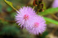 Macro of pink flowers sensitive plant. - PhotoDune Item for Sale