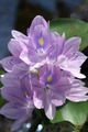 Purple water hyacinth flowers are blooming. - PhotoDune Item for Sale