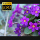 Spring Purple Flower - VideoHive Item for Sale