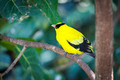 Black-naped Oriole of Eastern Asia on a Tree Branch. - PhotoDune Item for Sale