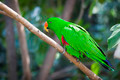 Male Indonesian Eclectus Parrot on a Tree Branch. - PhotoDune Item for Sale