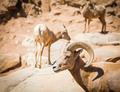 Desert Bighorn Sheep on the Hillside. - PhotoDune Item for Sale