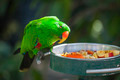 Male Indonesian Eclectus Parrot Feeding. - PhotoDune Item for Sale