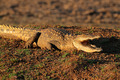 Nile crocodile - PhotoDune Item for Sale