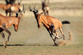 Frolicking red hartebeest - PhotoDune Item for Sale