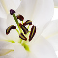 White lily - PhotoDune Item for Sale