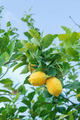 yellow lemons hanging on tree - PhotoDune Item for Sale