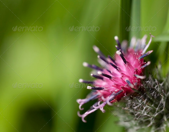 Burdock  - Stock Photo - Images