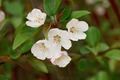 Apple Blossom - PhotoDune Item for Sale