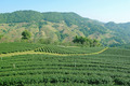Tea plantations of northern Thailand - PhotoDune Item for Sale