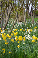 Spring daffodil garden and trees - PhotoDune Item for Sale