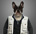 French bulldog wearing work clothes, grey background - PhotoDune Item for Sale