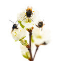 Group of Bees pollinating a flower - Apis mellifera, isolated on white - PhotoDune Item for Sale