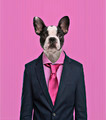 French Bulldog wearing a suit, pink background - PhotoDune Item for Sale